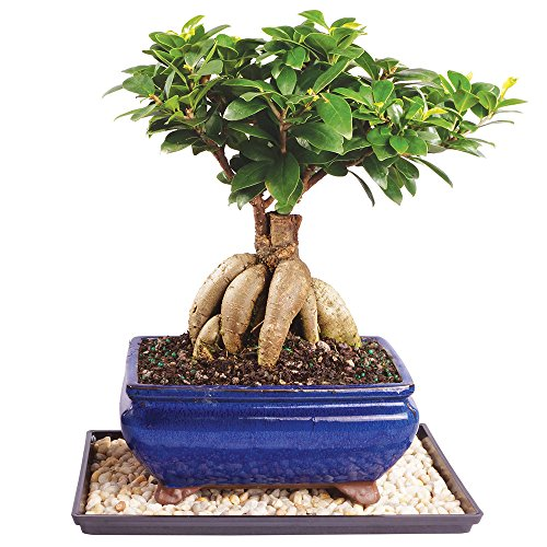 Brussel's Gensing Grafted Ficus Bonsai - Medium (Indoor) with Humidity Tray & Deco Rock -