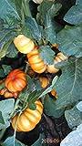 Solanum Aethiopicum (Mock Tomato) 100 Seeds