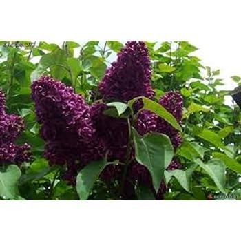 amazoncom syringa monge lilac fragrant plant