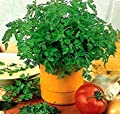 350+ Chervil Seeds- and- Non-GMO, Organic- Open Pollinated