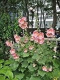 David's Garden Seeds Flower Hollyhock Indian Spring Mix SL7446 (Multi) 100 Non-GMO, Heirloom Seeds