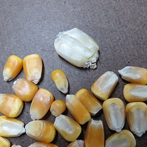 #1246 MAYAN GIANT WHITE CORN35 SEEDSe-z grow16'-24' TALLmasa harinaRARE#1246