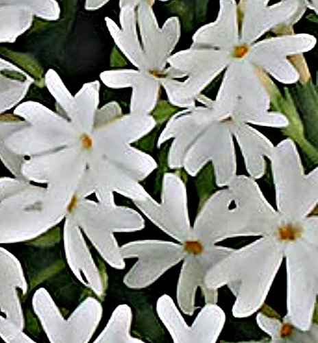 White Creeping Phlox (1 order contains 2 potted plants)