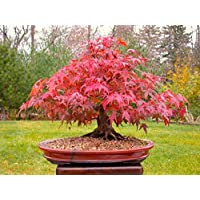 Japanese Red Maple Bonsai Tree, Grow Your Own Tree, Office Decor, 20pcs/bag Seeds