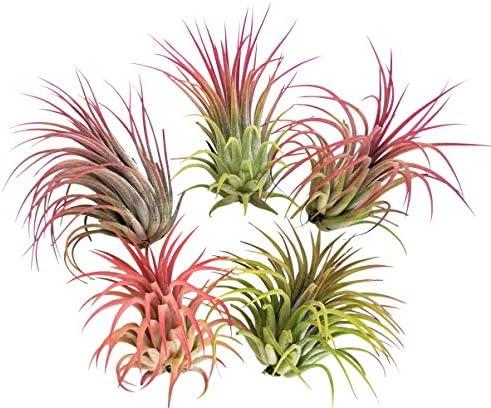 5-large-air-plants-tillandsia-ionantha