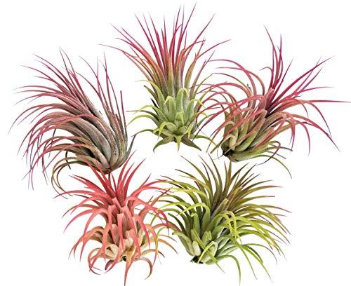5 Large Air Plants Tillandsia Ionantha Variety - Live Tropical House Plants for Home Decor, DIY Terrariums
