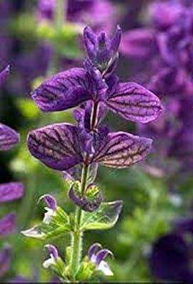 Seeds Wild Sage (Salvia Officinalis) Original Russian Heirloom Herb Seed