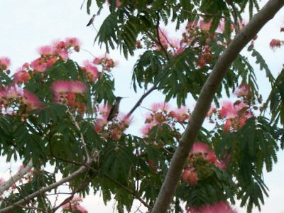 Mimosa Silk Tree 5 Seeds Hummingbird ()