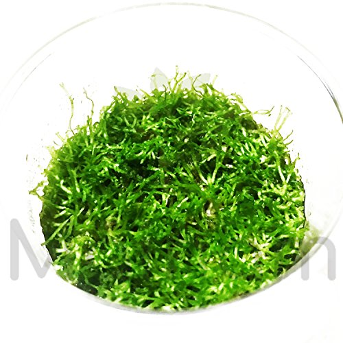 Mainam Riccia fluitans Crytalwort Live Aquarium Plant Decorations Tissue Culture 100% Pest Free Freshwater Aquatic Tank Imported Direct from Grower. by Mainam