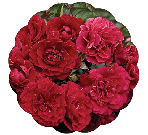 Stargazer Perennials Fire Meidiland Rose Plant Potted | Reblooming Ground Cover Rose Red Flowers - Own Root Low Maintenance