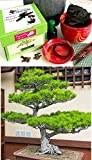 Premium Bonsai Growing Kit (Japanese Black Pine) -allUneed in 1 Box- Includes ceramic pot&tray- 9 piece kit- Gift