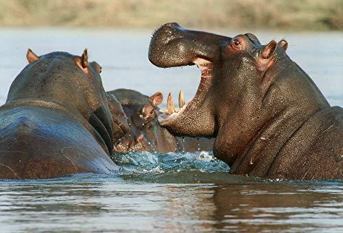 Home Comforts Peel-n-Stick Poster of Hippo Hippopotamus River Horse Animal Namibia Poster 24x16 Adhesive Sticker Poster Print