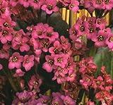 Bergenia cordifolia Winterglut ( 1 plant )