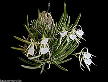 B. nodosa 'Remar' x 'Mas Major' NEW! Easy to Grow! Fragrant at night! Orchid Plant