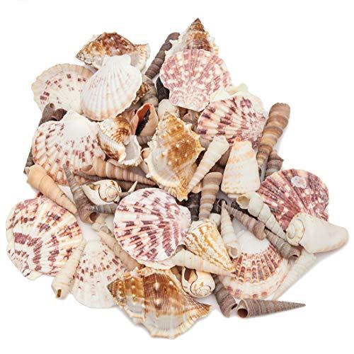 Juvale Mixed Sea Shells for DIY Crafts, Beach Decor (Classic Coastal Creations)