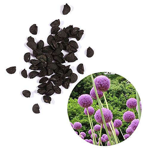 30Pcs Allium Giganteum Seeds Giant Ornamental Flower Home Garden Bonsai Decor - Purple Allium Giganteum Seeds