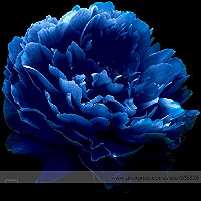Very Rare 'Luo Yang' Dark Blue Tree Peony Flower Seeds, Professional Pack, 5 Seeds, New Variety Light up Your Garden NF736 : Garden & Outdoor