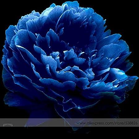 Amazon Com Very Rare Luo Yang Dark Blue Tree Peony Flower