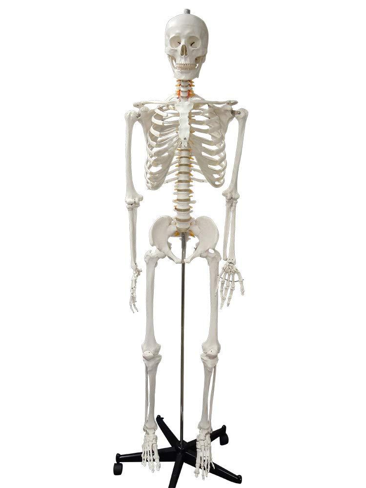 セール 登場から人気沸騰 全身骨格等身大 脊髄、椎骨動脈付きモデル 人体模型 人体模型 B07G961G51 B07G961G51, 電子タバコ専門店 VAPE STEEZ:541d168f --- a0267596.xsph.ru