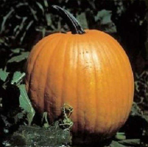 Connecticut Field Pumpkin Seeds