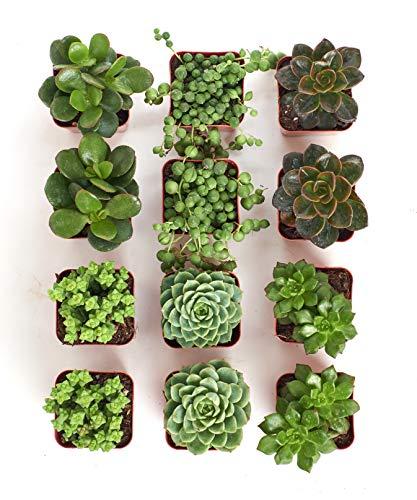 Shop Succulents Green Succulent (Collection of 12) by Shop Succulents (Image #2)