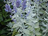 Silvery Blue Russian Sage Live Plant - Perovskia - Live Plant - Gallon Pot