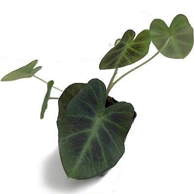 AchmadAnam - Live Plant - Elephant Ear Aloha Colocasia 3-Inch Deep Pot Garden : Garden & Outdoor