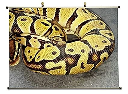 Amazon com: Tollyee Juvenile Pastel Ball Python - Canvas Wall Scroll