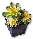 """Fat Plants San Diego Aeonium Kiwi Succulent Plant, 4"""" Pot"""