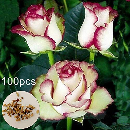sudalv1971 100Pcs Fire Ice Rose Flower Seeds for Garden Balcony Patio Office Bonsai Plant Decor Perennial Flower Seeds…