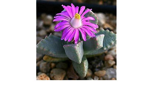 Dracophilus delaetianus living stones mesemb cactus mesembs cacti seed 100 SEEDS