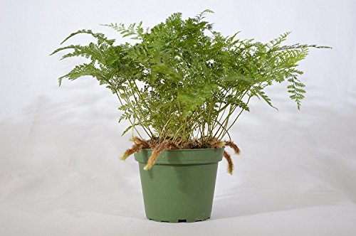 (LovelyGarden Brown Rabbit's Foot Fern - 4'' Pot Mature Easy Grow GIFT Holiday Cute Plant)