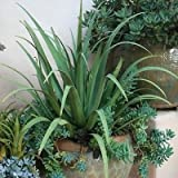 Spider Agave Succulent Seeds (Agave Bracteosa) 20+Seeds