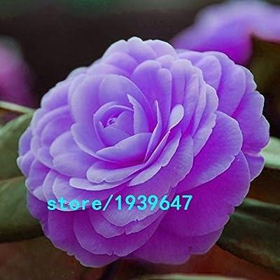 Rare Purple Camellia Seeds Potted Garden Flower Seeds Potted Ornamental Plants Japanese Camellia Seeds 100pcs : Garden & Outdoor