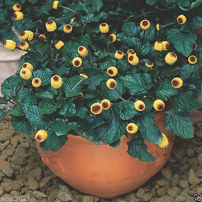 ds - Toothache Plant - Tropical Perennial- Native to Brazil (Boo Buttons)