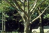 15 Seeds American Hornbeam, Hornbeam, Blue Beech, Ironwood, Musclewood, Water Beech, Muscle-beech, Smooth-barked Ironwood Tree (Carpinus caroliniana)
