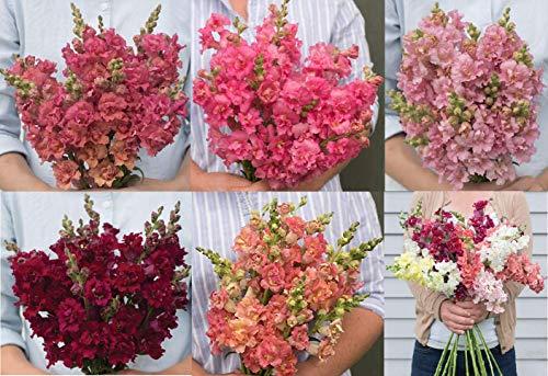 (David's Garden Seeds Collection Set Flower Snapdragon Madame Butterfly Hybrid SL88882 (Multi) 6 Varieties 300 Seeds (Non-GMO, Hybrid))