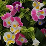 Torenia Flower Garden Seeds - Kauai Mix - 100 Seeds - Annual Flower Gardening Seed - Torenia founieri