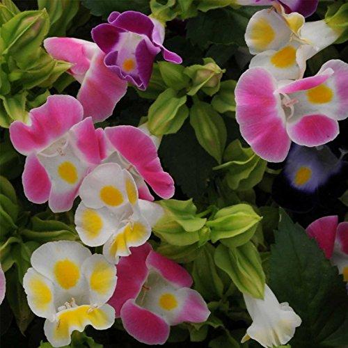 Torenia Flower Garden Seeds - Kauai Mix - 100 Seeds - Annual Flower Gardening Seed - Torenia founieri