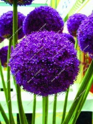 Blue Globe Allium seeds