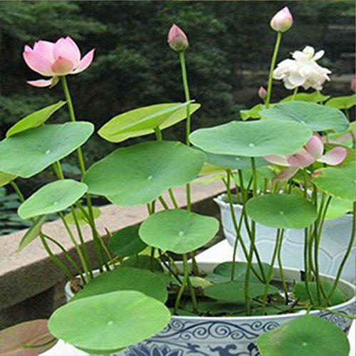TOPmountain 20Pcs Hydroponic Flowers Small Water Lily Seeds Mini Lotus Seeds Bonsai Seeds Hydrophyte Indoor And Outdoor Potted Flowers Bowl Lotus Flowers(1 Pack)