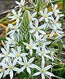 Ornithogalum- 'Sochi' (5 bulbs) is a rare star-of-Bethlehem with star shaped glistening white flowers.