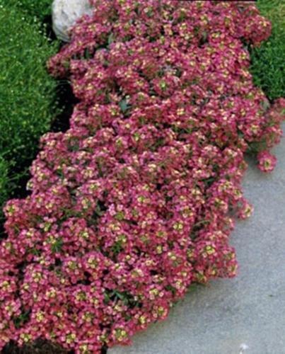 Alyssum Aphrodite Series Red Annual (Alyssum Aphrodite Series)
