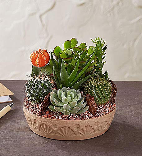 1800Flowers Cactus Dish Garden with Cacti and Succulents (Large) by 1-800-Flowers.com (Image #2)