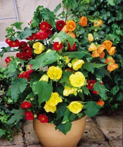 Abutilon Bellvue fioritura//Parlour Acero Interno Esterno perenni 50 Semi MIX