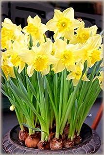 Pinkdose 100Pcs / Bag Narcissus Bonsai Flower Plant Bella Flower Herb Family Garden Decoration Pianta in Vaso: 1