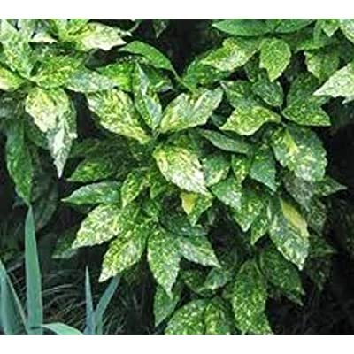 Gold Dust Variegated Aucuba - Live Plant - 3 Gallon Pot : Garden & Outdoor