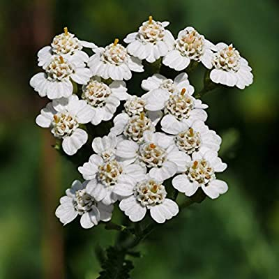White Yarrow Seeds (Achillea millefolium) 50+ Rare Heirloom Herb Seeds in FROZEN SEED CAPSULES for The Gardener & Rare Seeds Collector - Plant Seeds Now or Save Seeds for Years : Garden & Outdoor