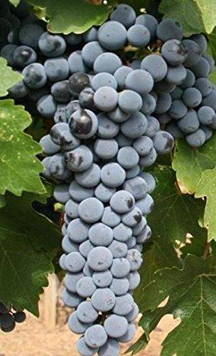 Grape Vines Wine Cabernet Sauvignon (Red) - 1 Year-Old Bare Root Grapevine. (3)