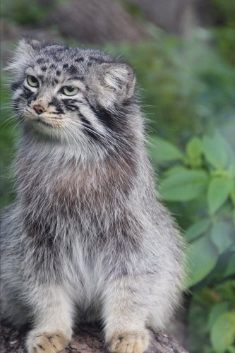 Pallas Cat (Totally Cool Manuel Pallas Cat Wild Animal Journal: 150 Page Lined Notebook/Diary)